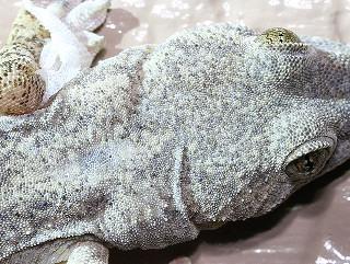 ニホンヤモリの画像 p1_36