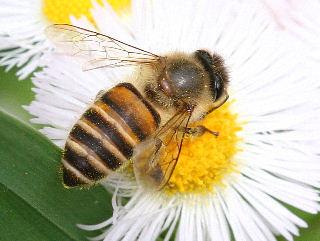 ミツバチの画像 p1_40