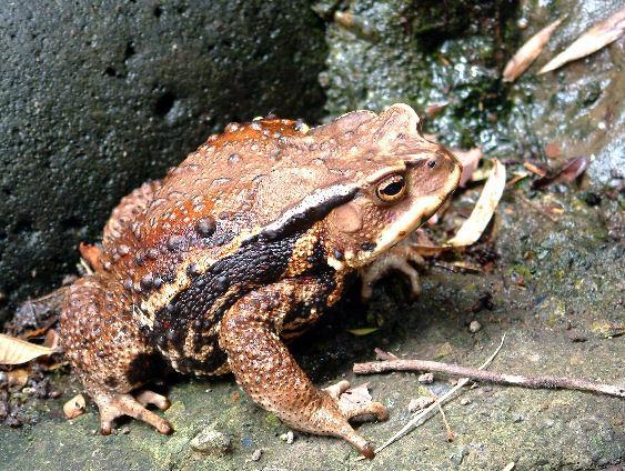 ニホンヒキガエルの画像 p1_17